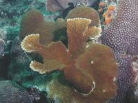 Modern Elkhorn Coral