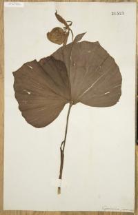 <i>Cypripedium japonicum</i>