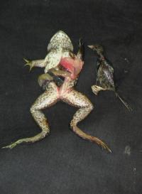 Bullfrog/Songbird