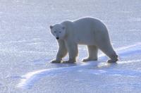 A Subadult Polar Bear