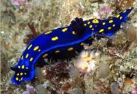 The <i>Felimare Californiensis</i>, a Sea Slug with the University of California Colors