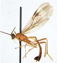 <i>Cystomastacoides nicolepeelerae</i>