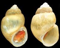 <i>Karucia sublacustrina</i>