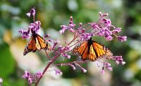 Monarchs Resting