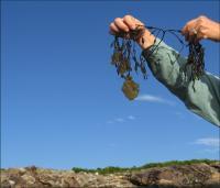 <i>Colpomenia peregrina</i>, or Sea Potato, Growing on Rockweed