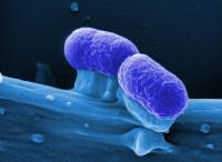 <i>E. coli</i>