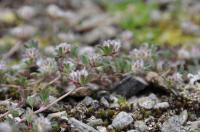 <i>Trifolium saxatile</i>