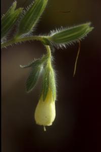 <i>Onosma helvetica</i>