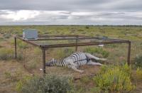 Dead Zebra in Landscape