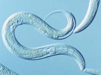 <i>C. elegans</i>