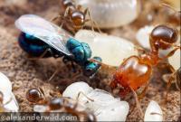 Ant Parasitoid