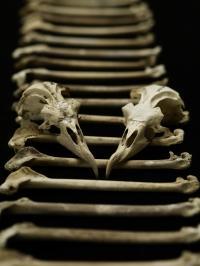 Petrel Bones