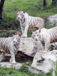 White Tigers at Chimelong Safari Park in China