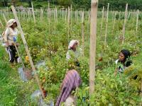 Women in Tomato Garden