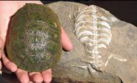 Living Turtle