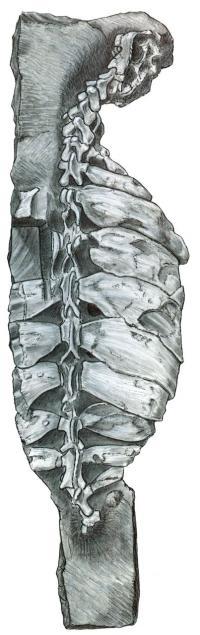 <i>Eunotosaurus africanus</i> Backbone