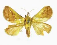 <i>M. tanaognatha</i>