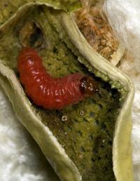 Pink Bollworm Larva