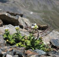Alpine Cress