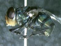 <i>Chrysoma megacephala</i>