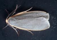 Japanese Lichen Moth