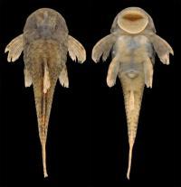 <I>Pareiorhina hyptiorhachis</I>