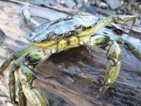 Shore Crab (<i>Carcinus maenas</i>)