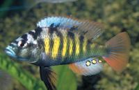 <i>Haplochromis</i> sp. Thickskin