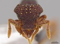 <i>Eurhopalothrix zipacna</i>