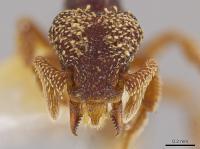 <i>Eurhopalothrix semicapillum</i>