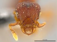 <i>Octostruma convallis</i>