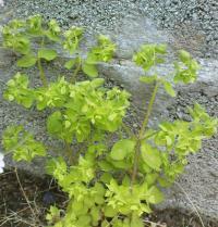 <I>Euphorbia peplus</I>
