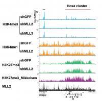 <i>Hox</i> Gene Cluster Analysis