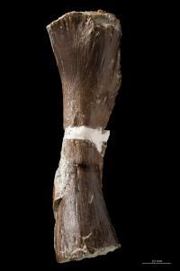Femur of <i>Metoposaurus diagnosticus krasiejowensis</i>