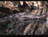 Caiman Croc