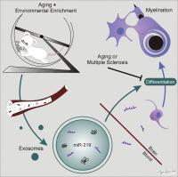 Process of Exosome Myelination
