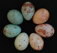 Cuckoo Finch Eggs
