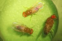 <i>Drosophila</i> (Fruit Flies)