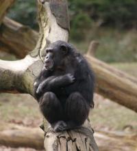 Chimpanzee Tushi