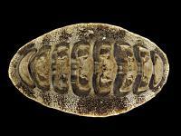 <i>Acanthopleura japonica</i>