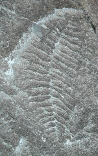 <i>Fractofusus misrai</i>