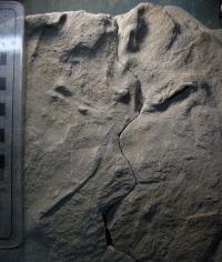 Cretaceous Bird Track