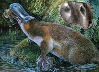 <i>Obdurodon tharalkooschild</i>