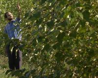 Richard Meilan Inspects a Row of Hybrid Poplars