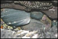 Black Abalone