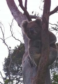 Koala at Cape Otway
