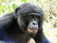 Bonobo (1 of 2)
