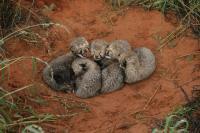 Cheetah Cubs (1 of 2)