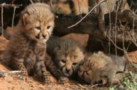 Cheetah Cubs (2 of 2)