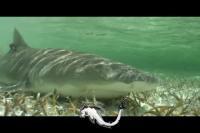 Lemon Shark Giving Birth